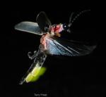 1firefly