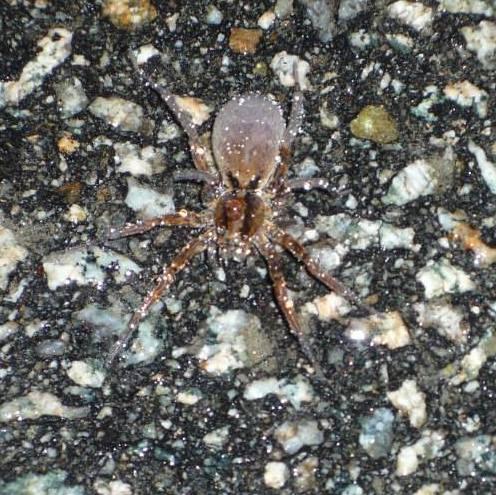 Big old spider