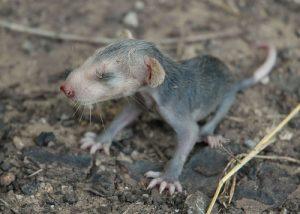 skinny possum